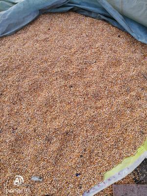 这是一张关于玉米湿粮 净货 水份20%-30% 的产品图片
