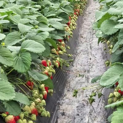 四川省成都市新都区红颜草莓 20克以上