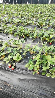 山东省潍坊市青州市甜宝草莓 30克以上