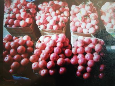 山东省青岛市黄岛区普罗旺斯番茄 通货 弧二以上 软粉