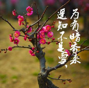 山东省临沂市平邑县红梅 盆景  带花苞发货