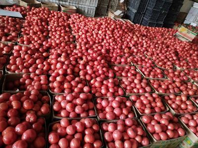 江苏省连云港市东海县硬粉番茄 通货 弧三以上 硬粉