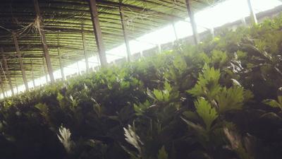 山东省聊城市东昌府区西芹 60cm以上 0.5~1.0斤 大棚种植