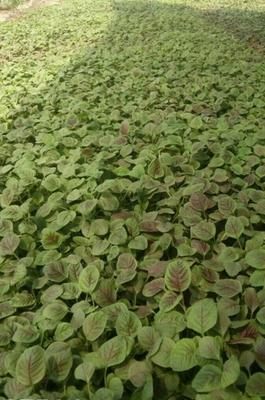 湖北省宜昌市当阳市红苋菜 15-20cm 紫红