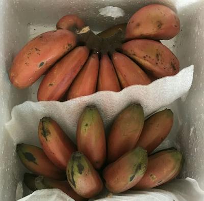 福建省漳州市芗城区红香蕉 八成熟