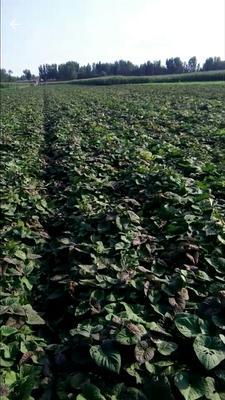 这是一张关于烟薯25号红薯苗 15~25cm 的产品图片