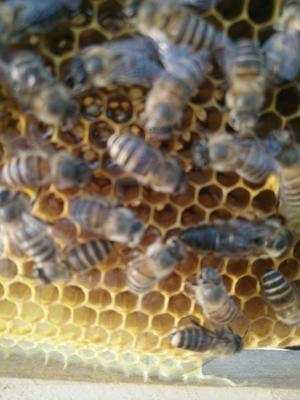 陕西省咸阳市秦都区土蜂蜜  塑料瓶装 2年以上 100% 保证纯天然,假一培千