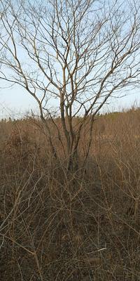 安徽省滁州市定远县丛生朴树