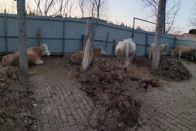 河北省沧州市任丘市西门塔尔牛 800-1000斤 母牛