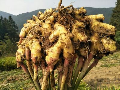 湖南省永州市双牌县虎爪姜 4~6两 带土