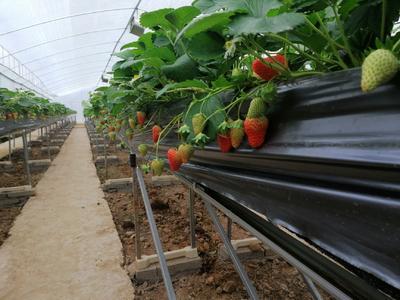 湖北省宜昌市夷陵区红颜草莓 20克以上