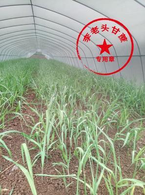 四川省资阳市乐至县甘蔗种子