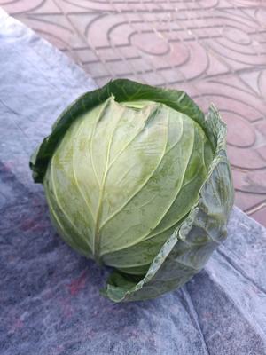 四川省凉山彝族自治州西昌市绿甘蓝 3.0~3.5斤
