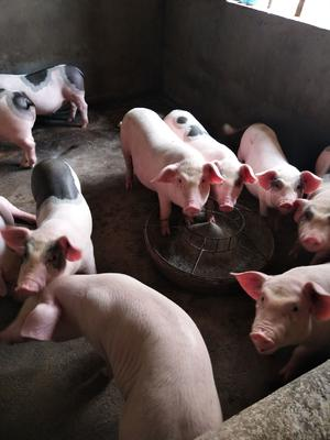 这是一张关于土猪苗 的产品图片