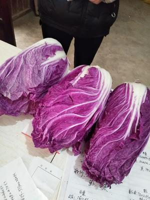 陕西省渭南市华县紫白菜 2~3斤 净菜
