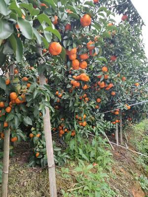 广西壮族自治区桂林市荔浦县沙糖桔 4.5 - 5cm 2 - 3两