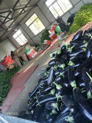 内蒙古自治区赤峰市敖汉旗紫长茄 20~30cm 长茄