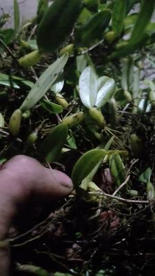 广西壮族自治区柳州市三江侗族自治县石橄榄