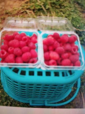 这是一张关于红树莓苗 的产品图片