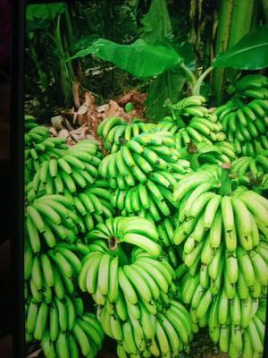 云南省西双版纳傣族自治州勐海县西双版纳香蕉 七成熟
