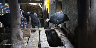贵州省黔西南布依族苗族自治州兴义市灰色珍珠鸡 2-4斤