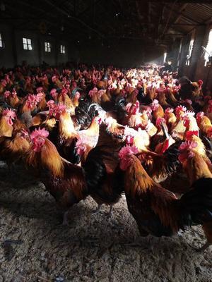 这是一张关于土鸡 4-5斤 公 的产品图片