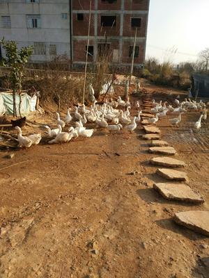 江西省上饶市余干县大白鹅 8-10斤 统货 全散养