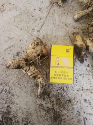 山西省晋中市左权县鸡头黄精 块