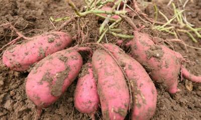 山东省临沂市临沭县小花叶红薯 混装通货 红皮
