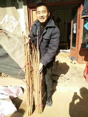 河南省洛阳市吉利区铁棍山药 70~90cm