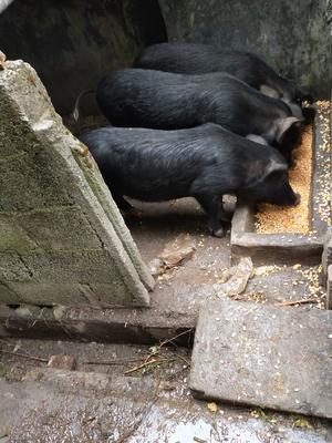 广西壮族自治区河池市南丹县生态土黑毛猪 80斤以上