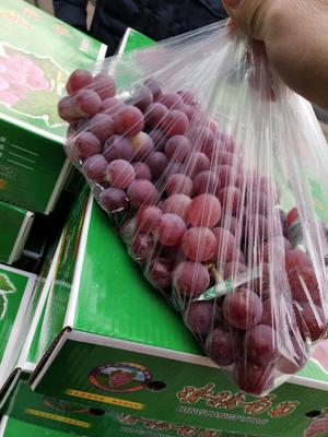 河北省石家庄市辛集市巨峰葡萄 1-1.5斤 5%以下 2次果