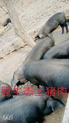 河南省郑州市登封市黑猪 160-200斤