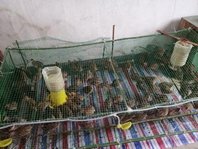 这是一张关于朝鲜鹌鹑 的产品图片