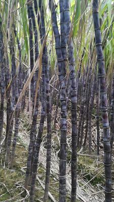 广东省广州市南沙区黑皮甘蔗 2cm以下 2.5 - 3m