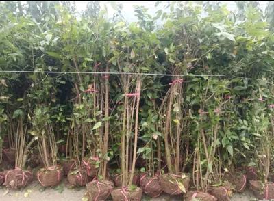 重庆渝北区素心腊梅 1~1.5米