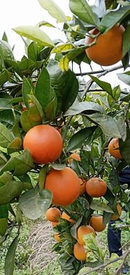 这是一张关于长叶香橙 60 - 65mm 4-8两 的产品图片
