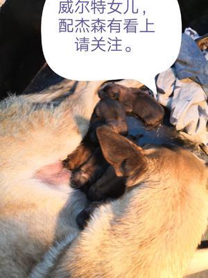 这是一张关于马犬  1500元黄马起步的产品图片