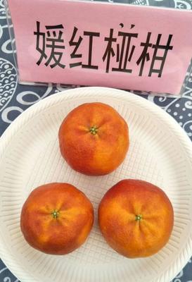 这是一张关于媛红碰柑柑橘苗 嫁接苗 0.2米以下 的产品图片