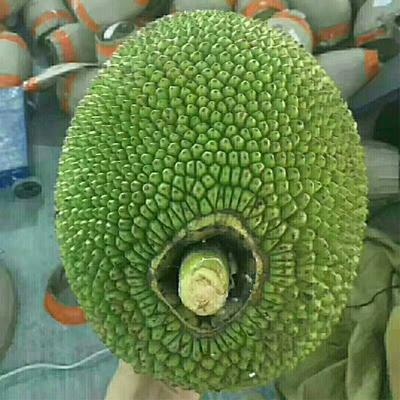 海南省海口市龙华区红肉菠萝蜜 15斤以上
