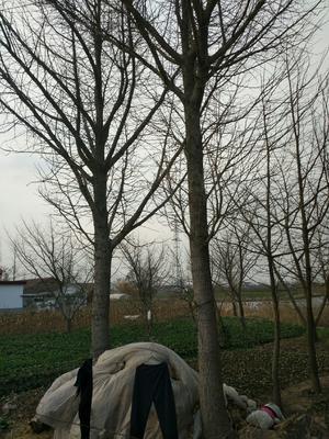江苏省盐城市东台市古银杏树