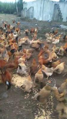 海南省澄迈县澄迈县土鸡 3-4斤 统货
