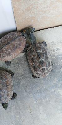 这是一张关于中华草龟 的产品图片