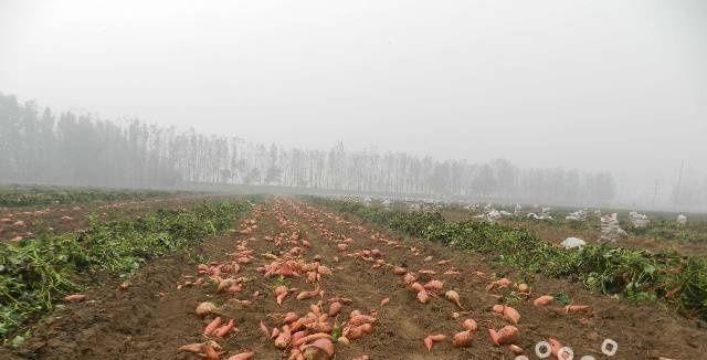 红心红薯 1.5斤以上 红皮