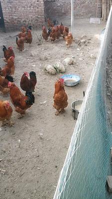 河北省沧州市献县北京油鸡 4-5斤 公