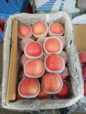 广东省惠州市惠城区红富士苹果  80mm以上 统货 纸袋 野生苹果 冰糖心苹果