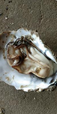 广东省湛江市坡头区湛江牡蛎 人工殖养 1-2两/只