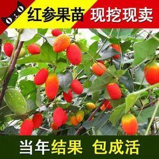 福建省南平市建瓯市红参果种子