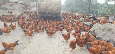 广西壮族自治区钦州市钦北区土鸡 5-6斤 公