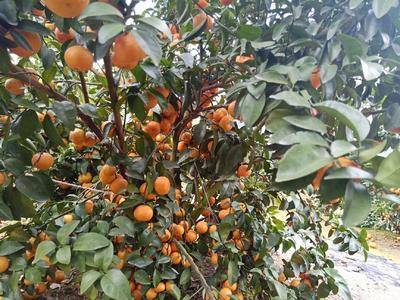 广西壮族自治区沙糖桔 2.5 - 3cm 1 - 1.5两